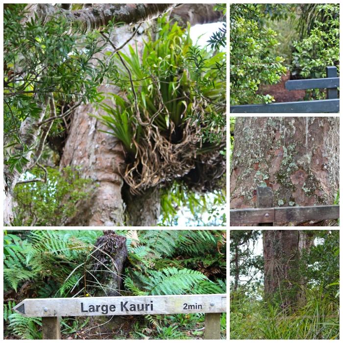 Large Kauri